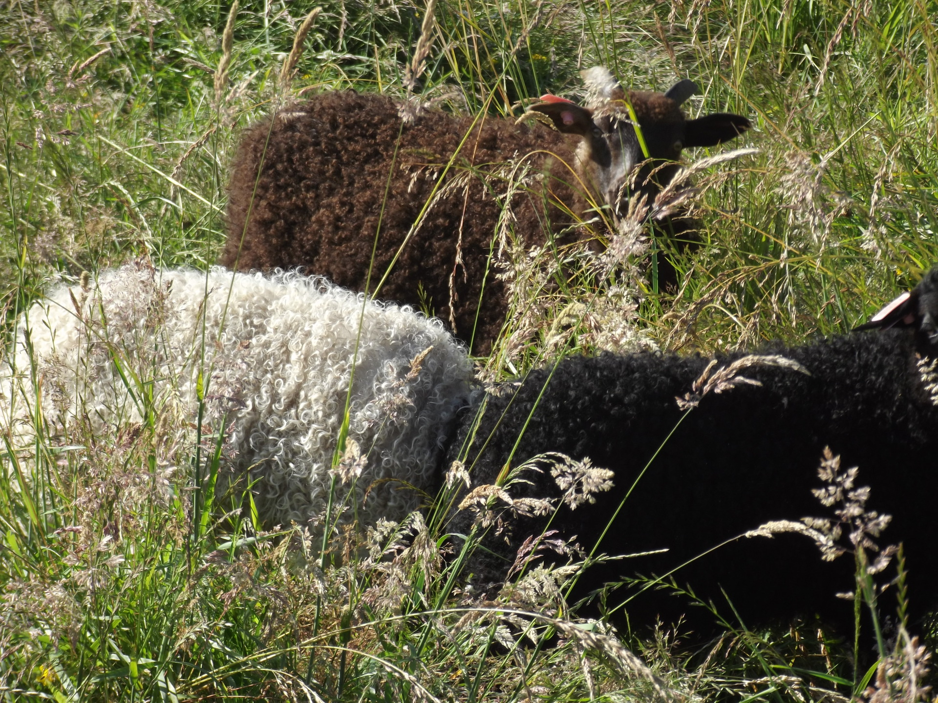 Turning grass into wool